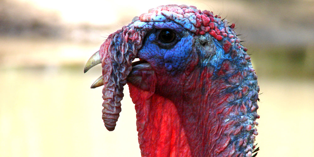 a colourful turkey broiler
